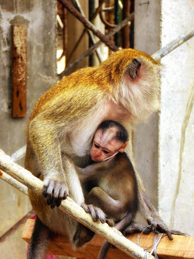 Ein Babyaffe, der die Mutter umarmt stockfotografie