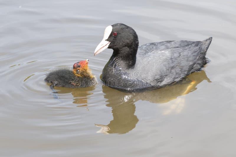 Ein Babyblässhuhn, das von seinem Elternteil an Southampton-Common eingezogen wird stockfotos