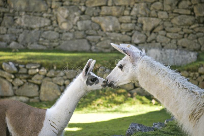 Ein Babylama küsst Mamalama in Bereich Machu Picchu lizenzfreie stockfotos