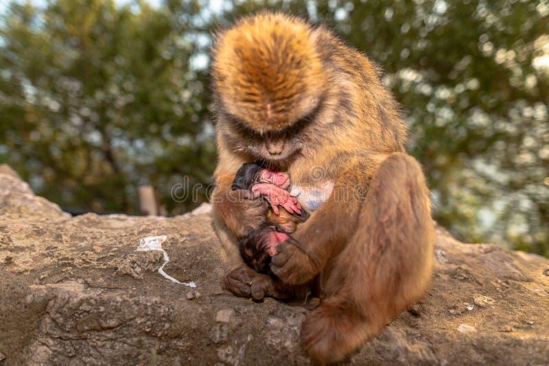 Ein Barbary-Makaken mit neugeborenem Baby lizenzfreies stockbild