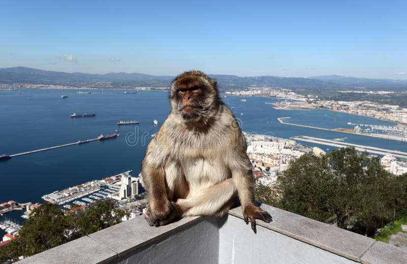 Barbarymacaque in Gibraltar stockbild