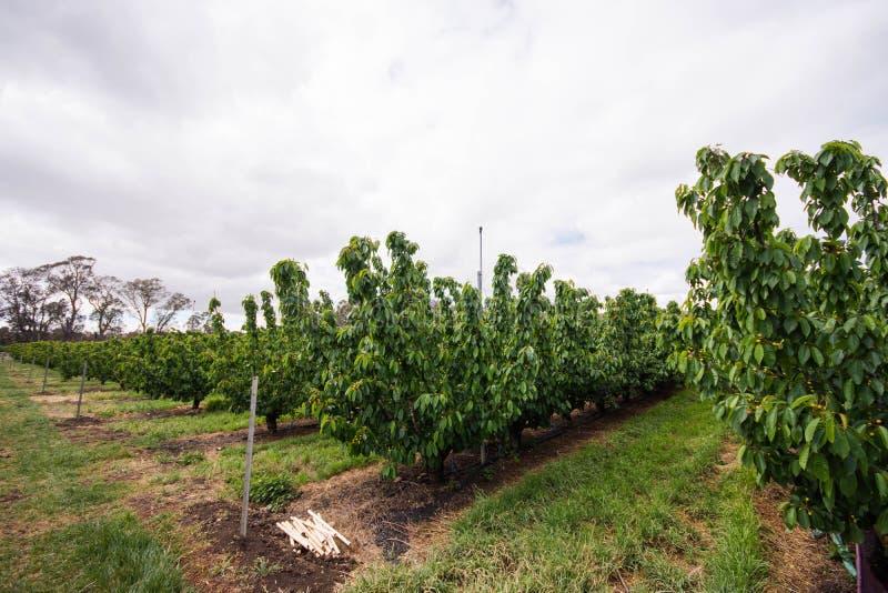 Ein Bauernhof von Kirschbäumen stockfoto