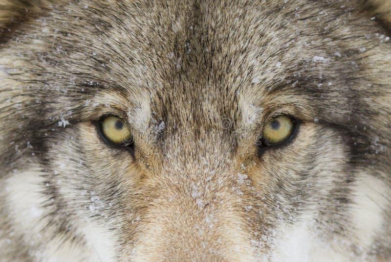 Ein Bauholz-Wolf Canis-Lupus mit Gelb mustert Nahaufnahme im Winterschnee stockbild