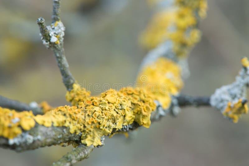 Ein Baum bedeckt mit gelben Flechten Schönes Makrodetail über Flechte stockfotos