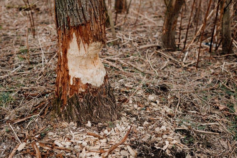 Ein Baum gebissen durch Biber lizenzfreie stockbilder