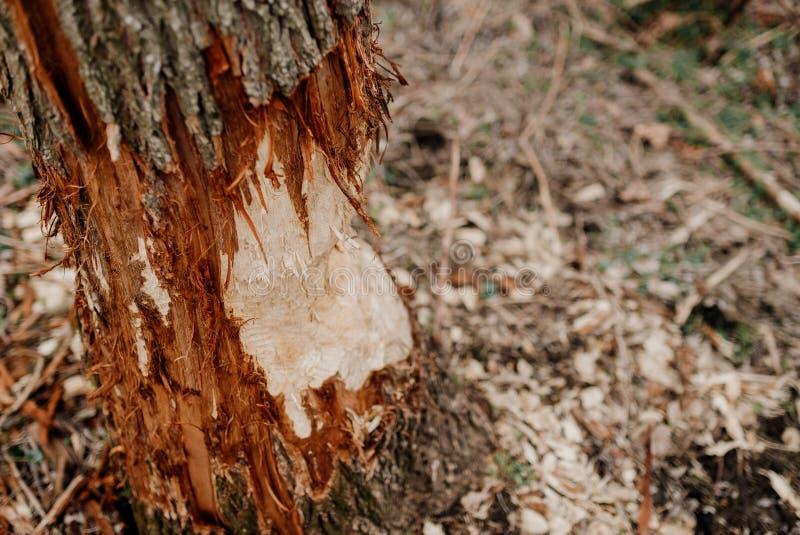 Ein Baum gebissen durch Biber stockbild