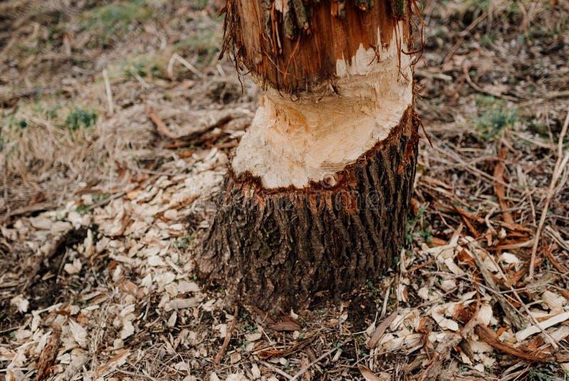 Ein Baum gebissen durch Biber lizenzfreie stockfotografie