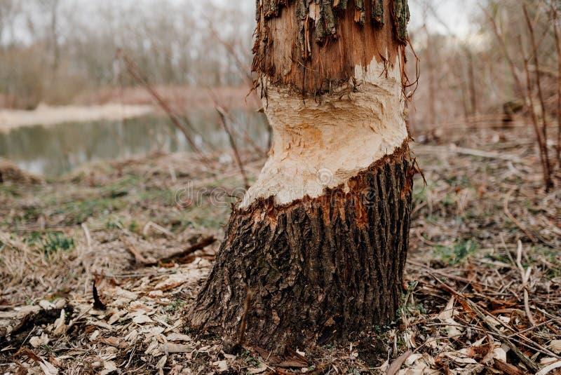 Ein Baum gebissen durch Biber lizenzfreies stockfoto