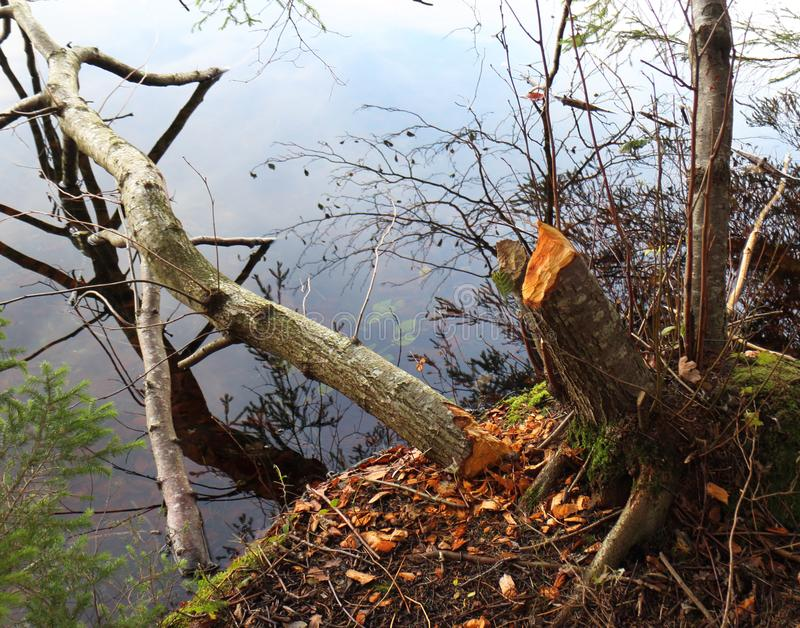 Ein Baum gefällt mit Bibern stockbilder