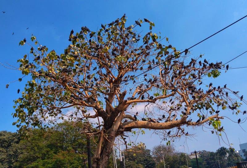 Ein Baum ist von den Taubenvögeln voll, die auf jeder Niederlassung gehockt werden stockfoto
