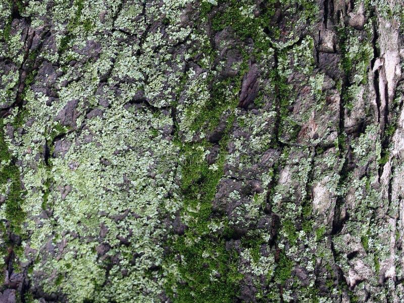 Ein Baum mit Moos auf Wurzeln in einem grünen Wald oder Moos auf einem Baumstamm Baumrinde mit grünem Moos Nahaufnahme lizenzfreie stockfotografie
