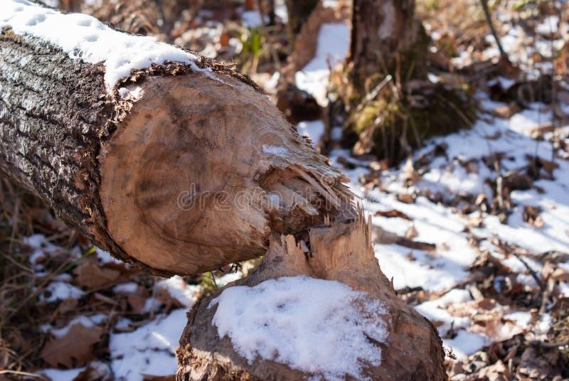 Ein Baum verringerte durch einen Biber stockfotografie
