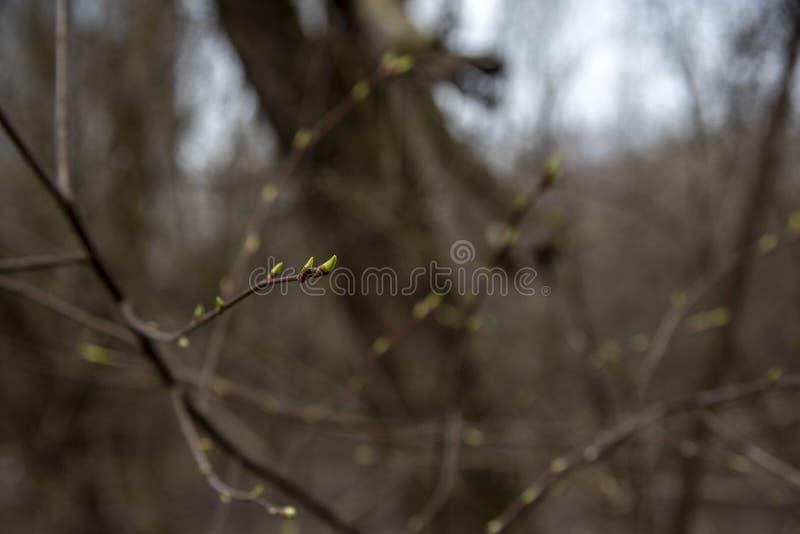 Ein Baumast mit den geschwollenen Knospen auf einem unscharfen Hintergrund Es ` s Fr?hling lizenzfreie stockfotos