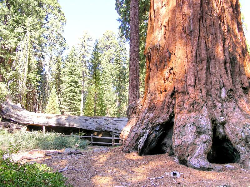 Ein Baumstammdetail des riesigen Mammutbaums im Wald des Mammutbaums NP, Kalifornien, USA stockbild
