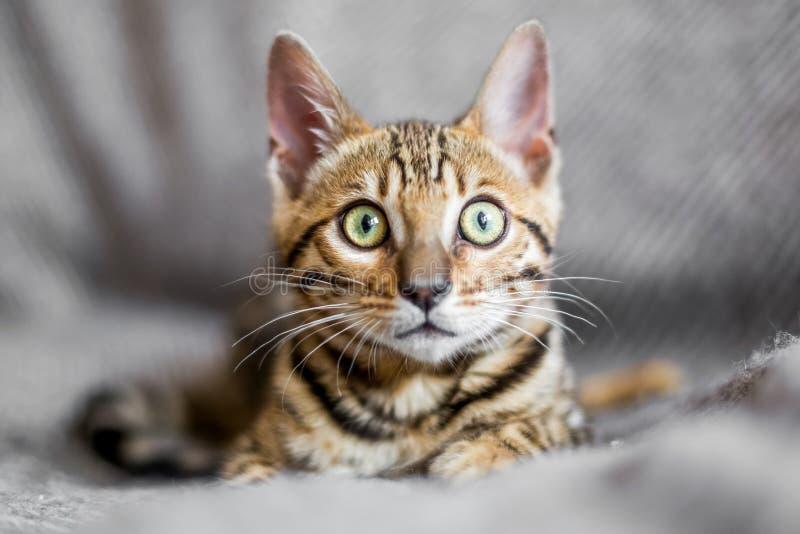 Ein Bengal-Kätzchen, das auf einer grauen Decke liegt lizenzfreies stockbild