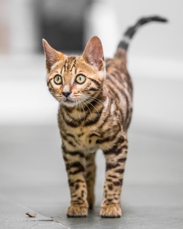 Ein Bengal-Kätzchen, das oben vom Küchenboden schaut lizenzfreie stockfotografie