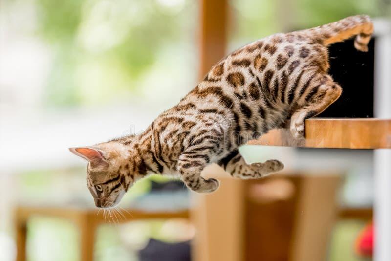 Ein Bengal-Kätzchen, das weg von einer Tabelle springt lizenzfreie stockfotos