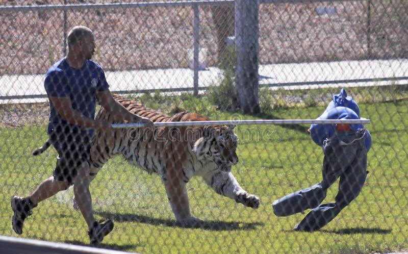 Ein Bengal Tiger Performs mit seinem Trainer stockbilder