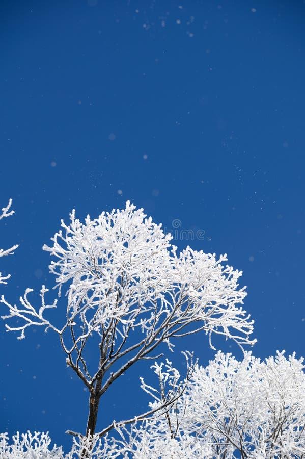 Ein bereifter Baum mit vielen blauen Himmels im Winter stockbild