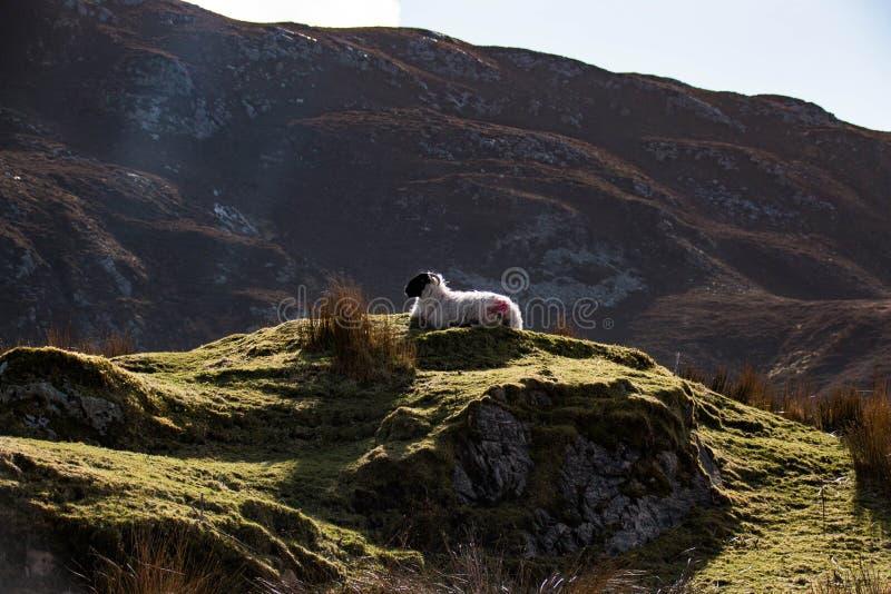 Ein Bergschaf in Irland-` s beträchtlicher Donegal Berglandschaft stockfotografie