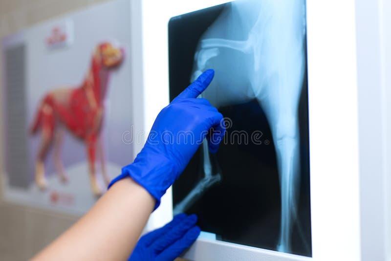 Ein Berufsdoktorradiologe mit Handschuhen betrachtet ein Röntgenstrahlbild auf dem Hintergrund eines negatoscope, das a zeigt stockfotos
