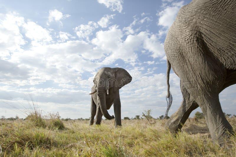 Ein Besorgnis erregender Elefant stockfotos