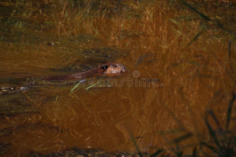 Ein Biber, der durch das Wasser schwimmt stockbild