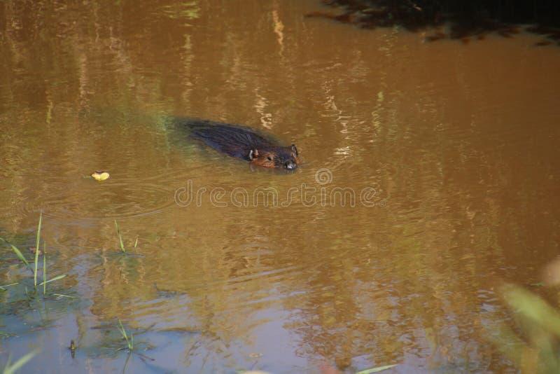 Ein Biber, der durch das Wasser schwimmt lizenzfreie stockfotos