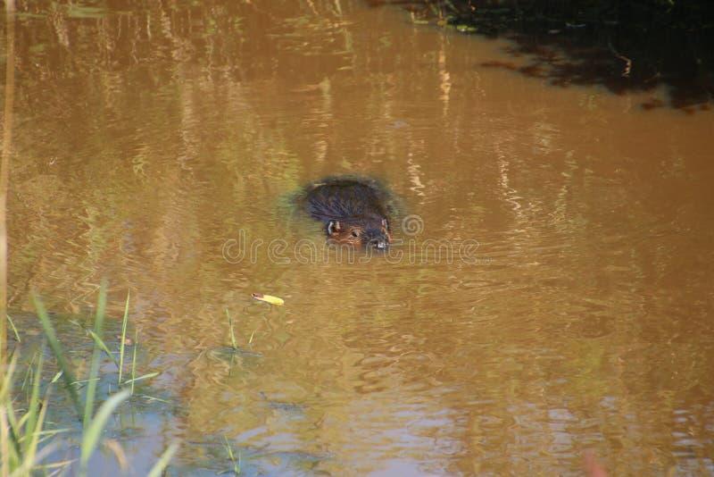 Ein Biber, der durch das Wasser schwimmt lizenzfreies stockbild