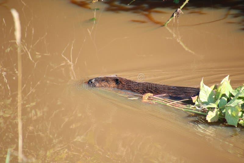 Ein Biber, der durch das Wasser schwimmt stockbilder