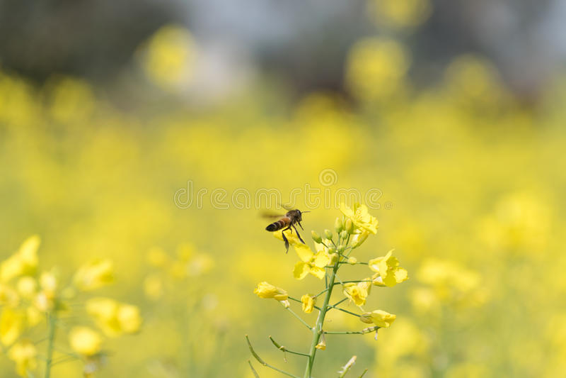 Ein Bienenfliegen um Senfblätter stockbilder