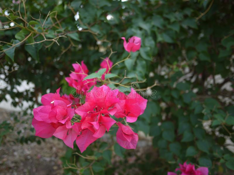 Ein blühen magentar Blumenstrauß Bouganvilla-Blumen im Frühjahr Jahreszeit lizenzfreie stockfotografie