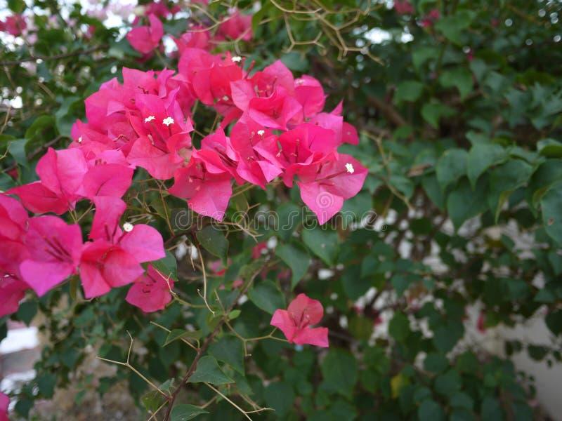 Ein blühen magentar Blumenstrauß Bouganvilla-Blumen im Frühjahr Jahreszeit stockfotos