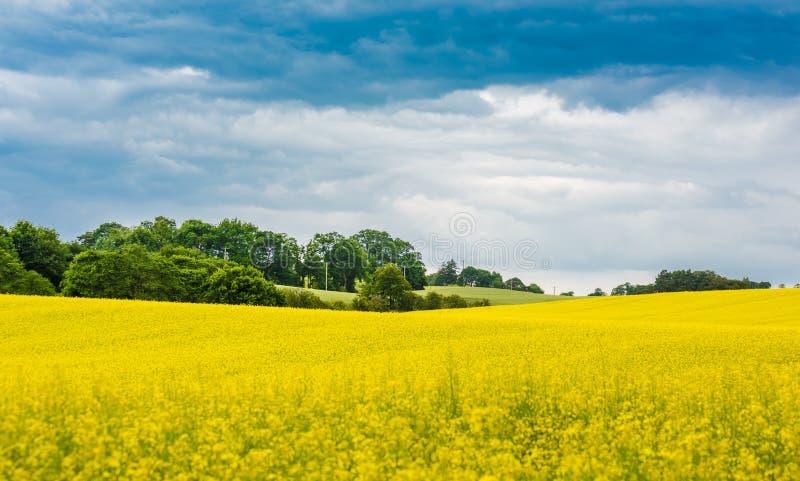 Ein blühendes gelbes Rapssamenfeld und grünen Bäume mit bewölktem Himmel, Schottland lizenzfreies stockfoto