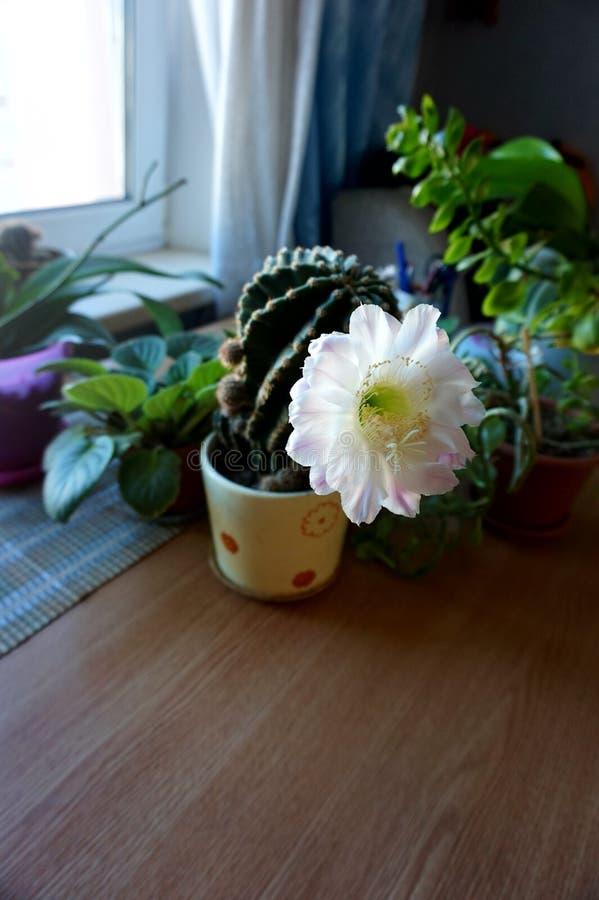 Ein blühendes Haupt-cactuscereus hexagonus auf einer Tabelle, unter anderen Blumen lizenzfreie stockbilder