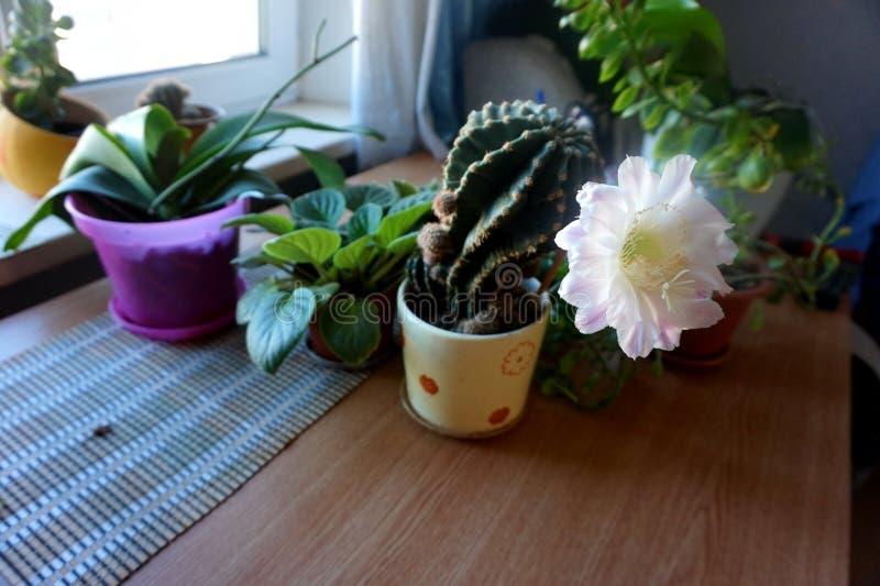 Ein blühendes Haupt-cactuscereus hexagonus auf einer Tabelle, unter anderen Blumen lizenzfreies stockfoto