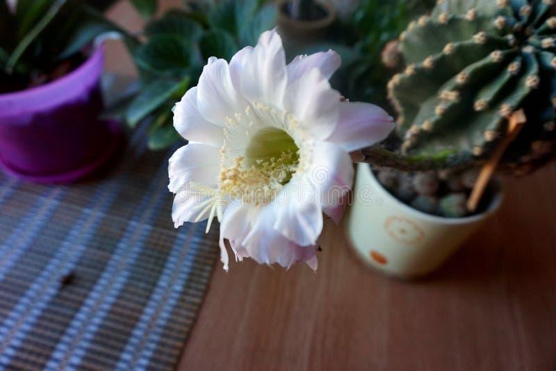 Ein blühendes Haupt-cactuscereus hexagonus auf einer Tabelle, unter anderen Blumen lizenzfreie stockfotografie