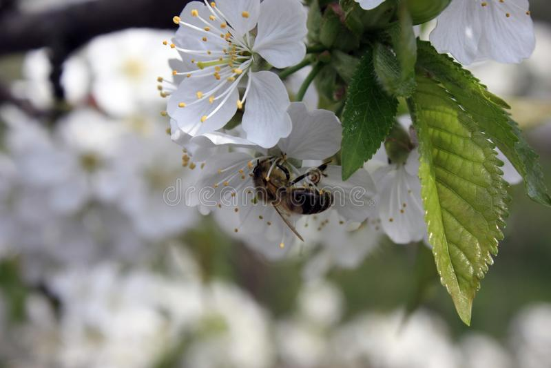 Ein bl?hender Obstbaum mit einer Biene auf einer wei?-rosa Blume Unscharfer Hintergrund, klarer sonniger Fr?hlingstag Gro?e Detai lizenzfreie stockbilder