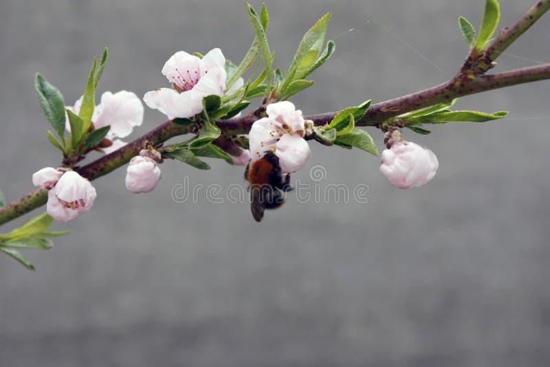 Ein bl?hender Obstbaum mit einer Biene auf einer wei?-rosa Blume Unscharfer Hintergrund, klarer sonniger Fr?hlingstag Gro?e Detai stockfoto
