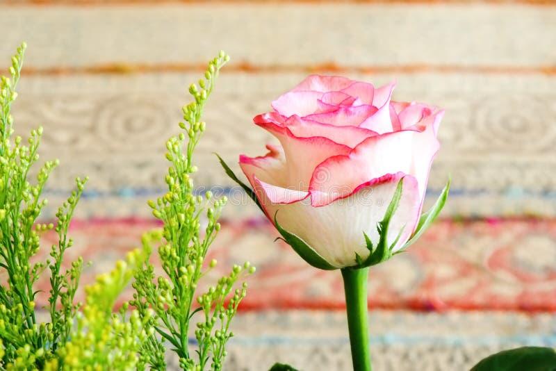 Ein blasses - rosa Rose mit Scharlachrot Rand in der Nahaufnahme stockfotos