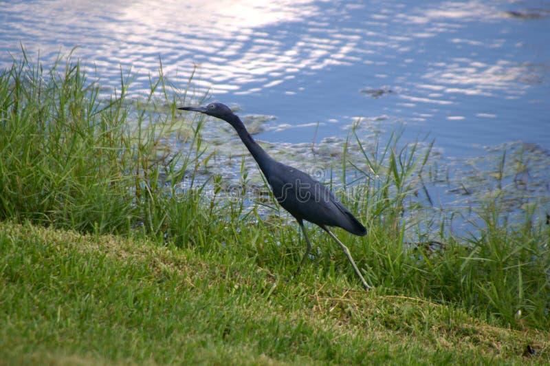Ein Blaureiher auf dem Ufer eines Sumpfes stockfotografie