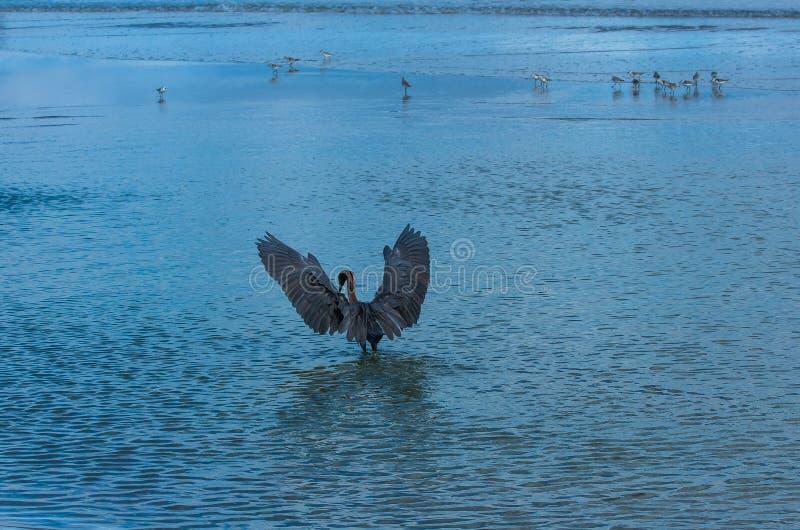 Ein Blaureiher, der für Himmel erreicht lizenzfreie stockbilder