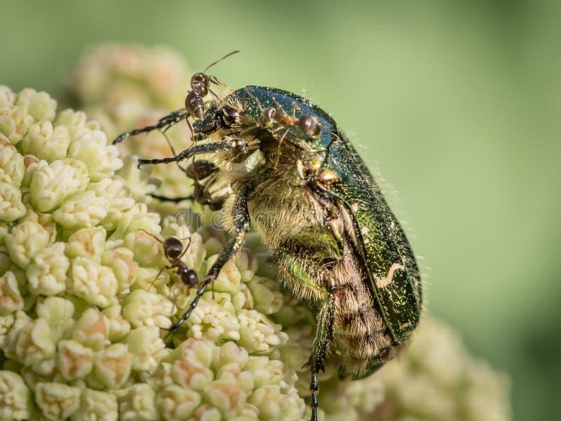 Ein Blumenkäfersitzen in Angriff genommen durch Ameisen lizenzfreie stockfotos