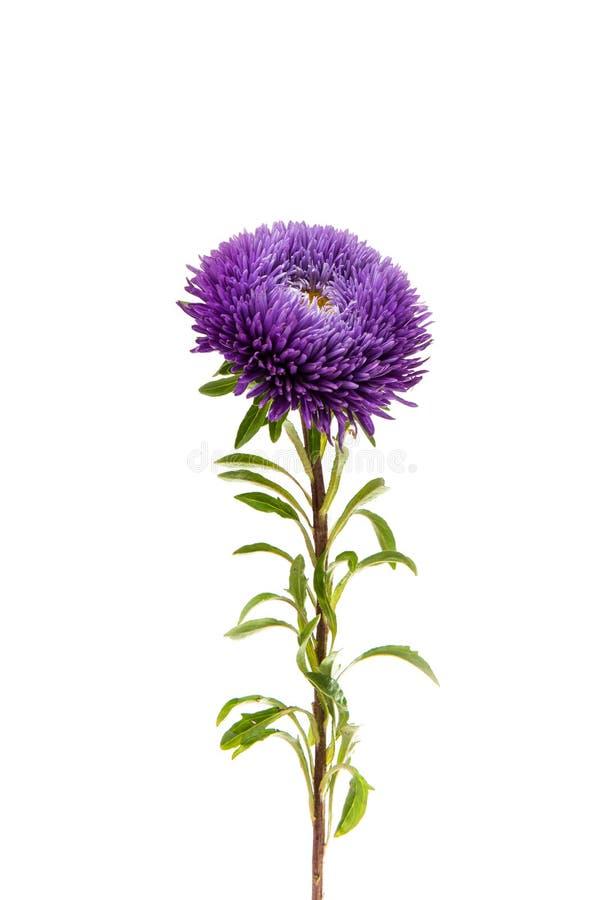 ein Blumenstrauß von den Astern lokalisiert stockfotografie
