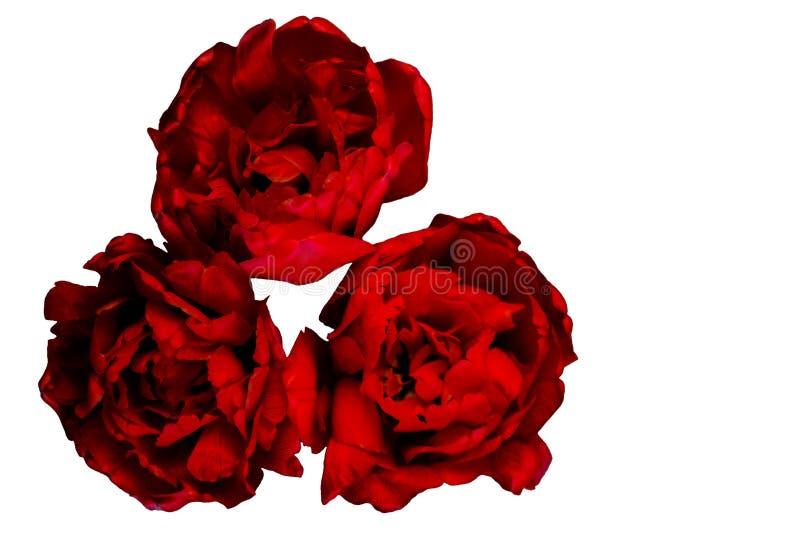 Ein Blumenstrauß von den Blumen lokalisiert auf weißem Hintergrund Drei rote Pfingstrosentulpen Blumengeschenkkonzept Konzept von stockbilder