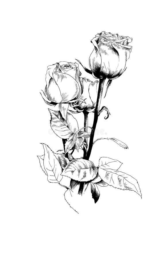 Ein Blumenstrauß von Rosen, eigenhändig gezeichnet in Tinte lizenzfreie abbildung