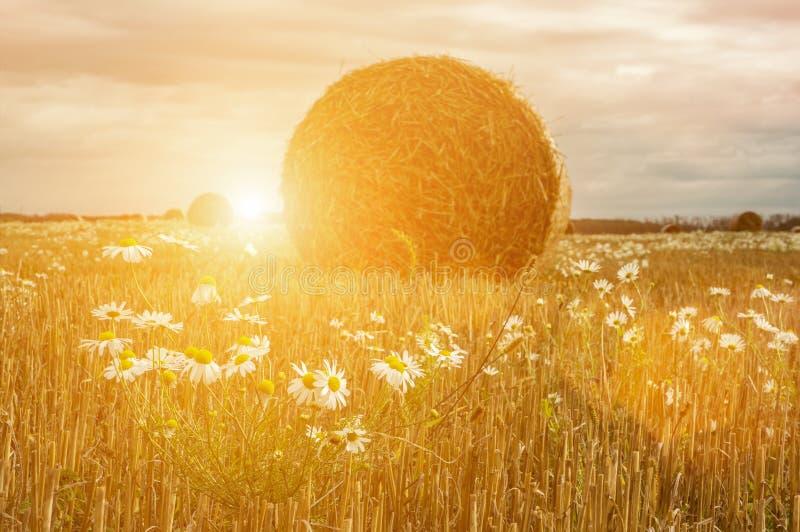 Ein Blumenstrauß von wilden Gänseblümchen auf dem Hintergrund einer ländlichen Landschaft mit Heuballen auf einem gemähten Feld a stockbilder