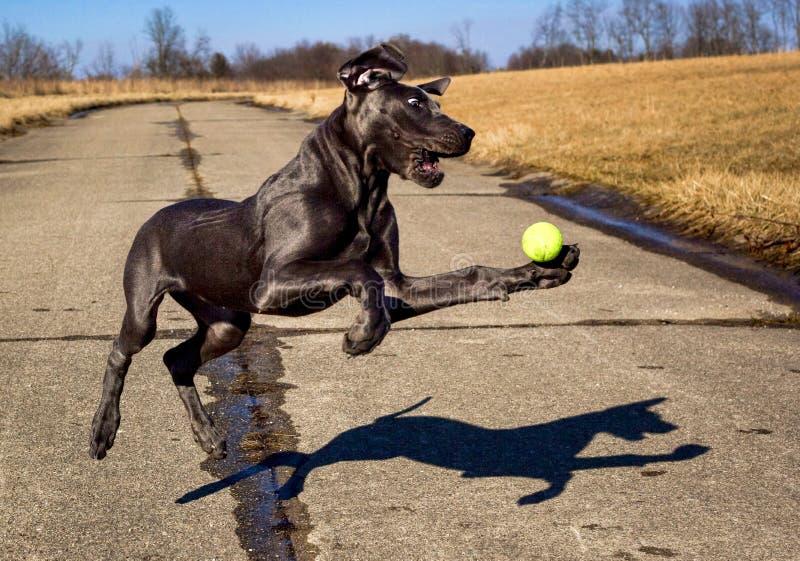 Ein Bonbongreat dane-Welpe versucht, einen Tennisball in der mittleren Luft zu fangen stockbild