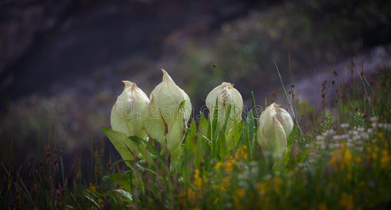 Ein Brahma Kamal eine große Höhe Blume lizenzfreie stockfotos