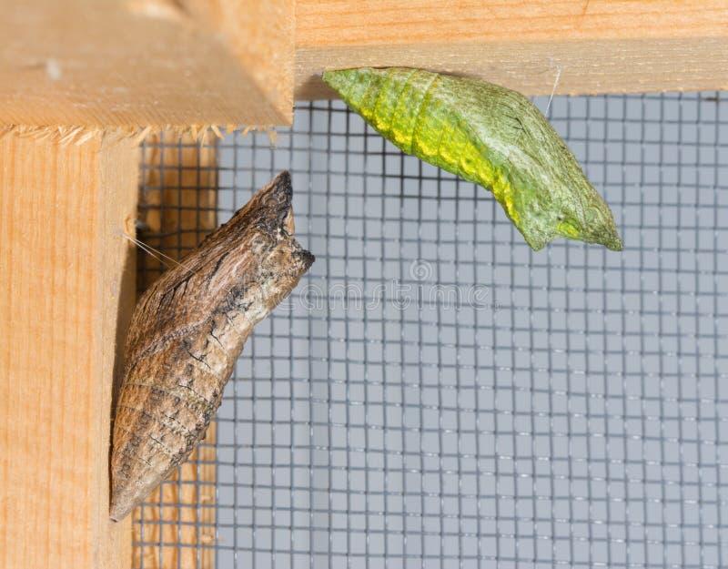 Ein Braun und ein Grün verwandeln von östlicher schwarzer Swallowtail-Puppe lizenzfreie stockfotografie